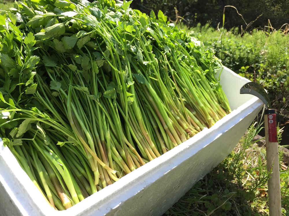2015年4月25日の山菜採り@新潟県下越地方/タラの芽,コシアブラ,セリ,ハリギリ・・・