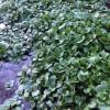 4月5日の山菜採り(クレソン)新潟県下越地方