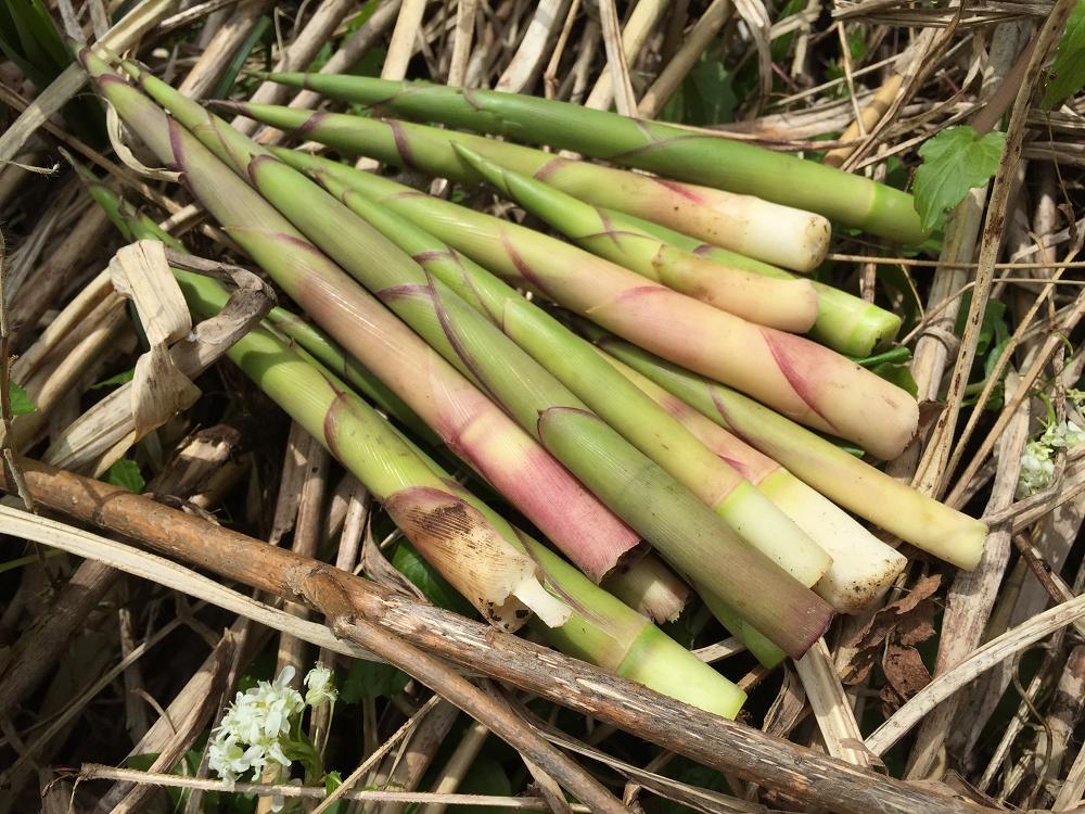 2015年4月19日の山菜採り@新潟県下越地方/花わさび,セリ,コシアブラ,タラの芽・・・