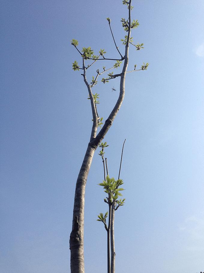 山菜の時期 コシアブラの木