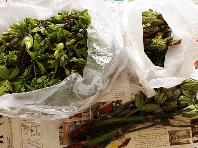 山菜の時期 タラの芽、コシアブラ、ウド