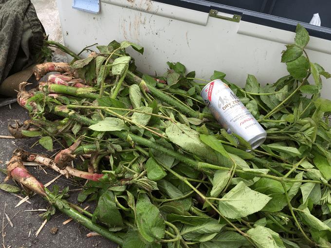 2015年5月5日の山菜採り@新潟県中越地方/ウドの楽園