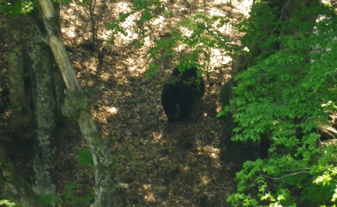こっちに気づく熊