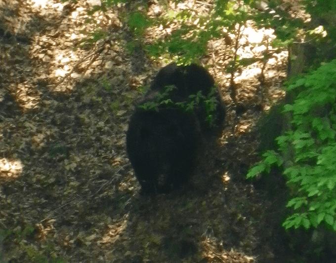 山菜採りに行ったらリアルプーさんに出会った【野生の熊】